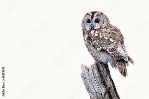 In de dag Uil Tawny owl, Strix aluco
