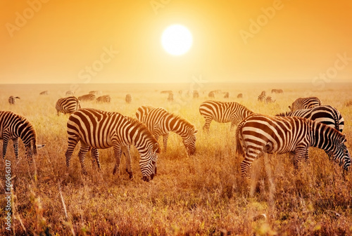 Deurstickers Afrika Zebras herd on African savanna at sunset.