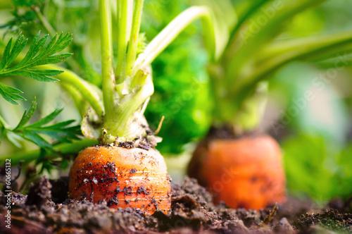 Karotten im Beet