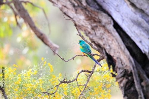 Valokuva Mulga Parrot (Psephotus varius) in Australia