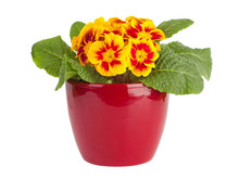 Yellow And Red Primrose In Red Pot
