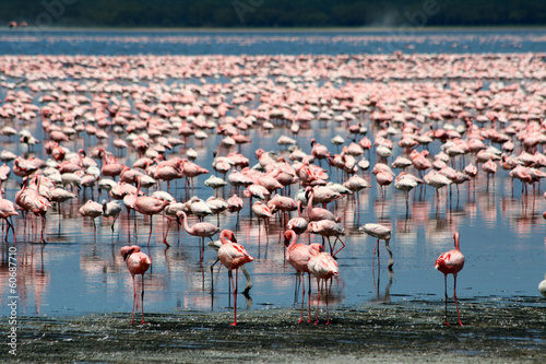 Flamingos in Africa #60687710