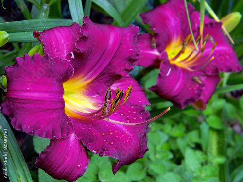 Garden Poster Kwiat liliowca - pręciki - owady