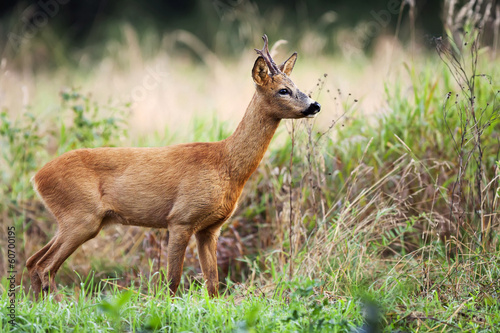 Papiers peints Roe Buck deer in the wild