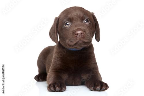 Obraz Brown Labrador puppy portrait - fototapety do salonu