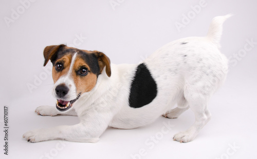 Obraz Jack Russell terrier wants to play - fototapety do salonu