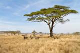 Fototapeta Sawanna - Zebra grazing in Serengeti