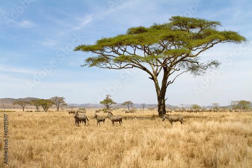 Cadres-photo bureau Zebra Zebra grazing in Serengeti