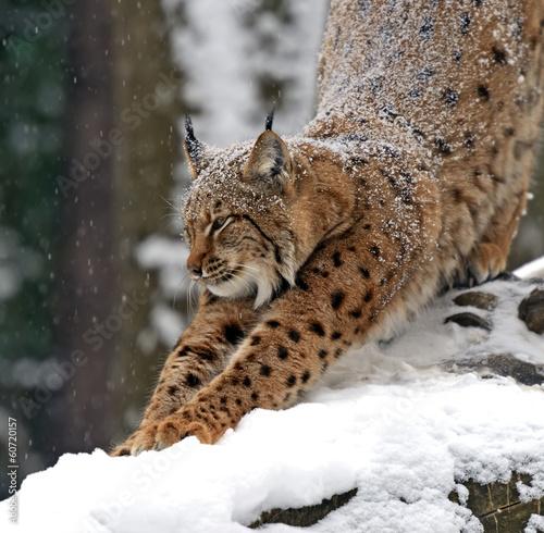 Poster Lynx Winter Lynx