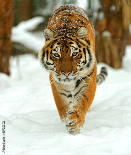 Portrait of a Siberian tiger Canvas Print