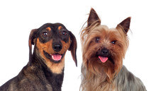 Couple Of Dog, A Dachshund And Yorkshire