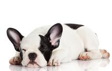 French Bulldog Puppy Sleeping.