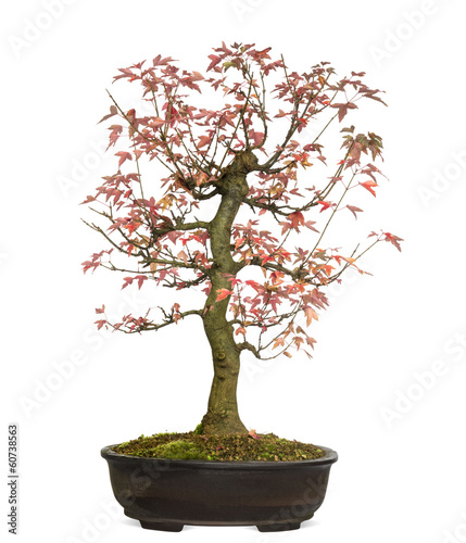Fotobehang Bonsai Trident Maple bonsai tree, Acer buergerianum, isolated on white
