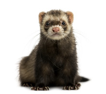 Front View Of A Ferret Looking...