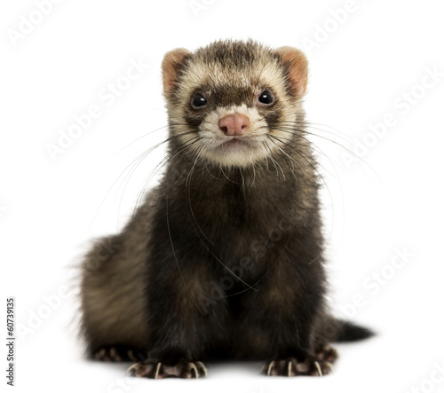 Front view of a Ferret looking at the camera, isolated on white Billede på lærred
