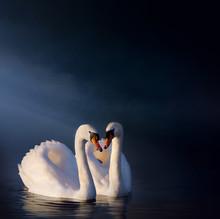 Art Romantic Swan Couple