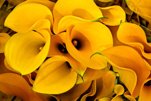 Bouquet Of Yellow Calla Lilies.