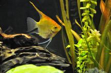 Pesce Scalare In Acquario Domestico