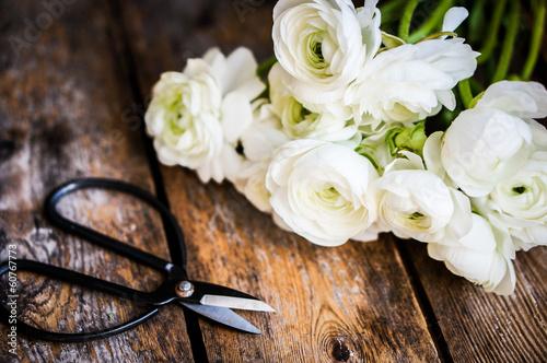Fototapeta White ranunculus and vintage scissors on rustic wooden backgroun