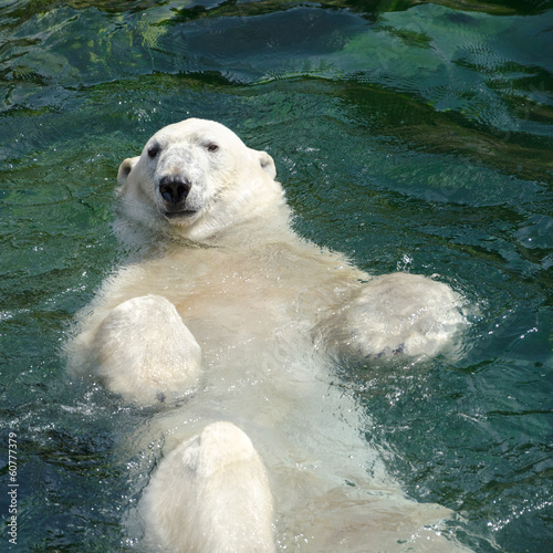 Cuadros en Lienzo Polar bear (Ursus maritimus) swimming in the water