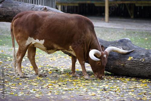 Garden Poster Cow Watusi cattle