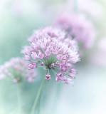 Garlic Flowers - 60804540