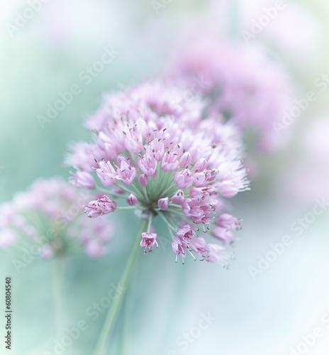 Fototapeta Garlic Flowers obraz