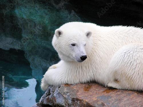 Staande foto Ijsbeer Resting polar bear