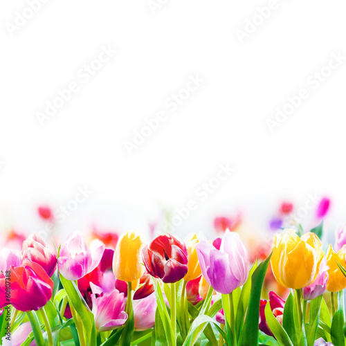 Foto op Plexiglas Tulp Colourful spring tulips on a white background