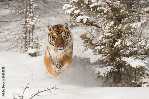 Wall Murals Bestsellers Siberian Tiger running in snow