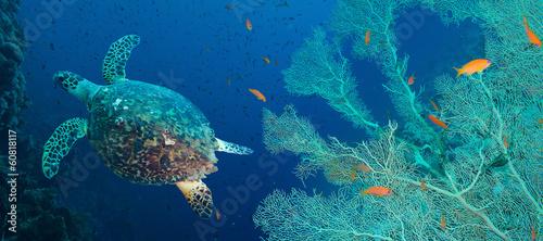 Foto op Canvas Schildpad Hawksbill sea turtle (Eretmochelys imbricata)