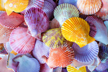 A Number Of Colorful Scallop S...