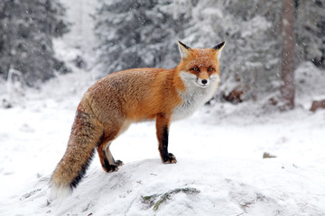 Fototapeta Fox in forest at High Tatras, Slovakia