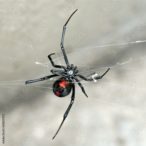 Photo  Spider, Australian Red-back,  female spider at rest on web
