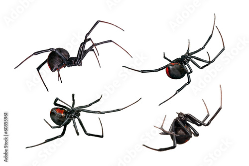 Fotografija Spider, Black Widow, Red back female, views isolated on white