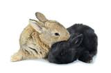 Fototapeta Zwierzęta - Młode króliki
