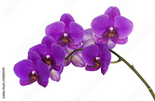 Dark purple orchid isolated on white background Canvas Print
