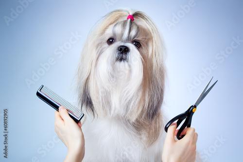 Fotografía  Shih tzu dog grooming