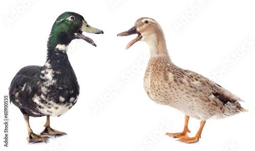 Fotografie, Obraz  two ducks