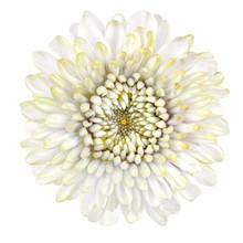 Blossoming White Strawflower I...