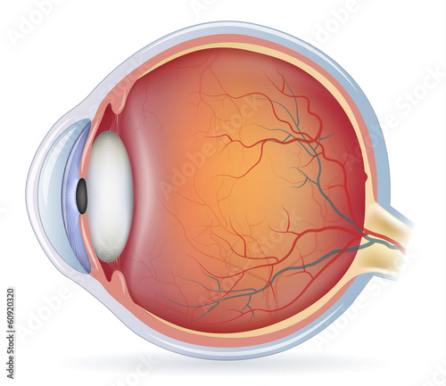 Fototapeta Human eye anatomy, beautiful colorful medical illustration obraz