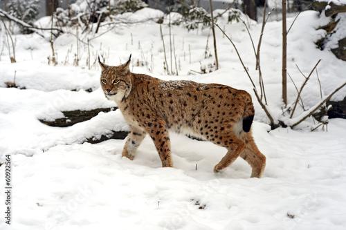 Fotobehang Lynx Winter Lynx