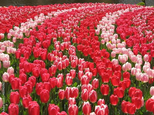 Papiers peints Azalea Tulpenpracht (Tulipa)