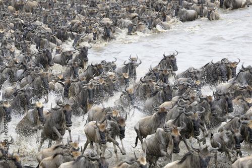 Fototapeta Afryka   afrykanskie-stado-bawolow-przekracza-rzeke-mara