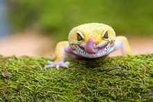 Leopard Gecko Pokes Tongue, To...