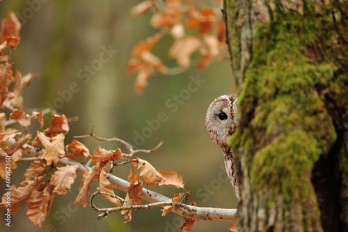 Tela Tawny Owl hiddne behind tree trunk