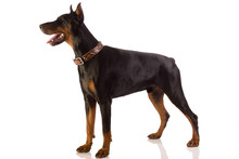 Doberman Pinscher Sitting On ...