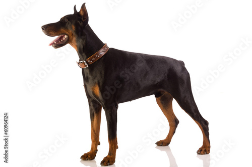 Fotografia doberman pinscher sitting on white background