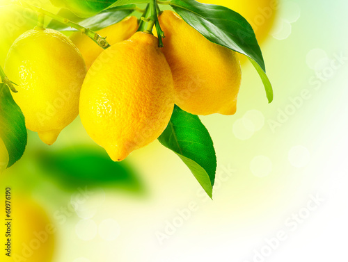 Fototapeta Lemon. Ripe Lemons Hanging on a Lemon tree. Growing Lemon