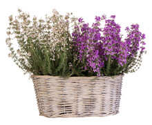Heather In Basket Isolated On ...